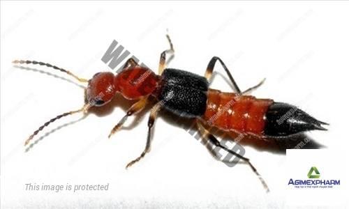 Cảnh giác với kiến ba khoang