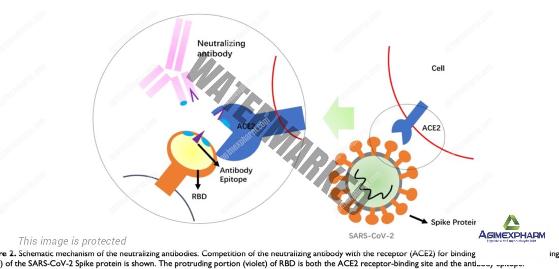 Đã tìm ra kháng thể đặc hiệu ngăn chặn sự tấn công của SARS-CoV-2